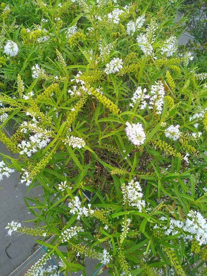 hebe microphylla